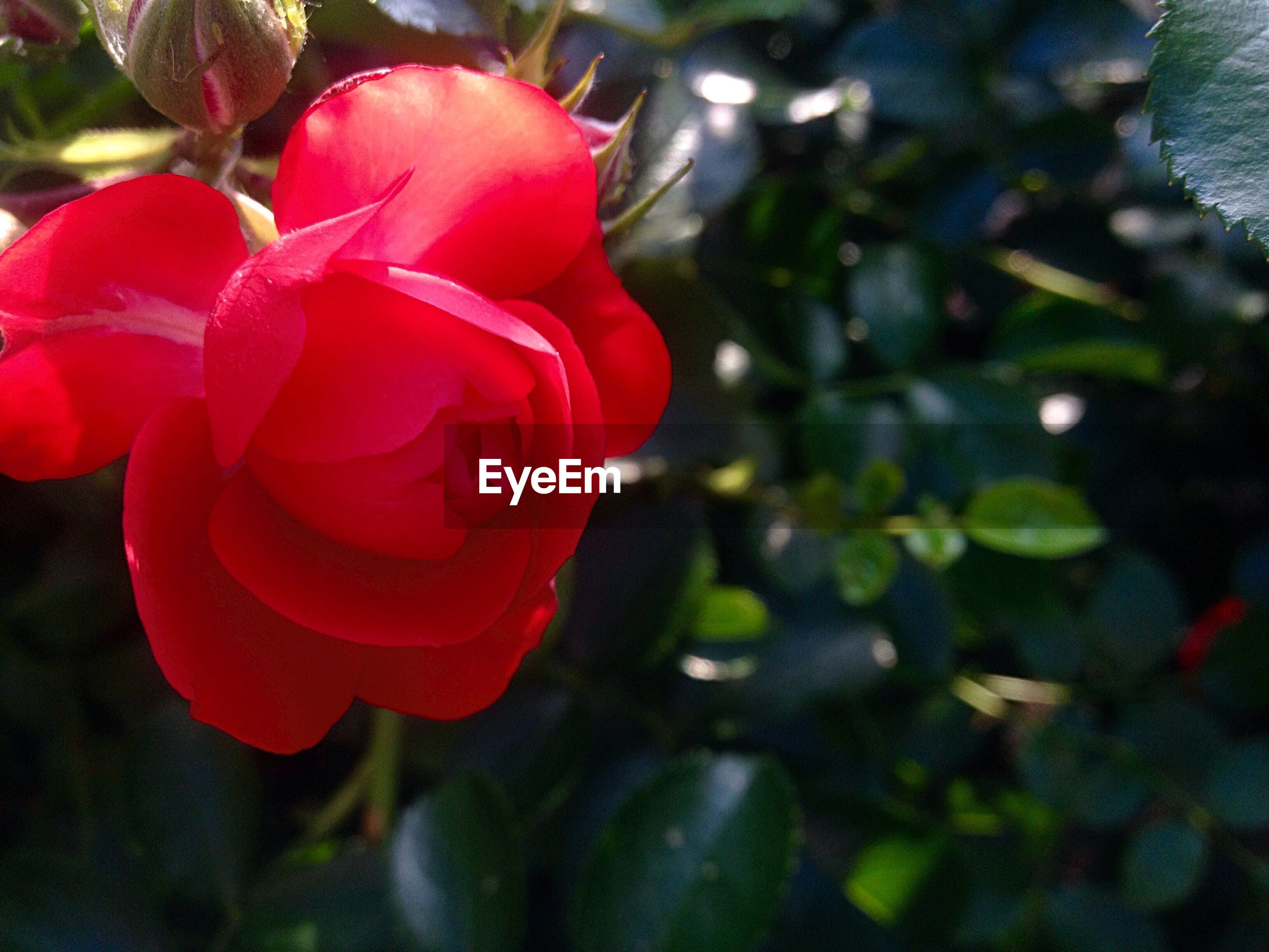 Close-up of red rose against blurred leaves