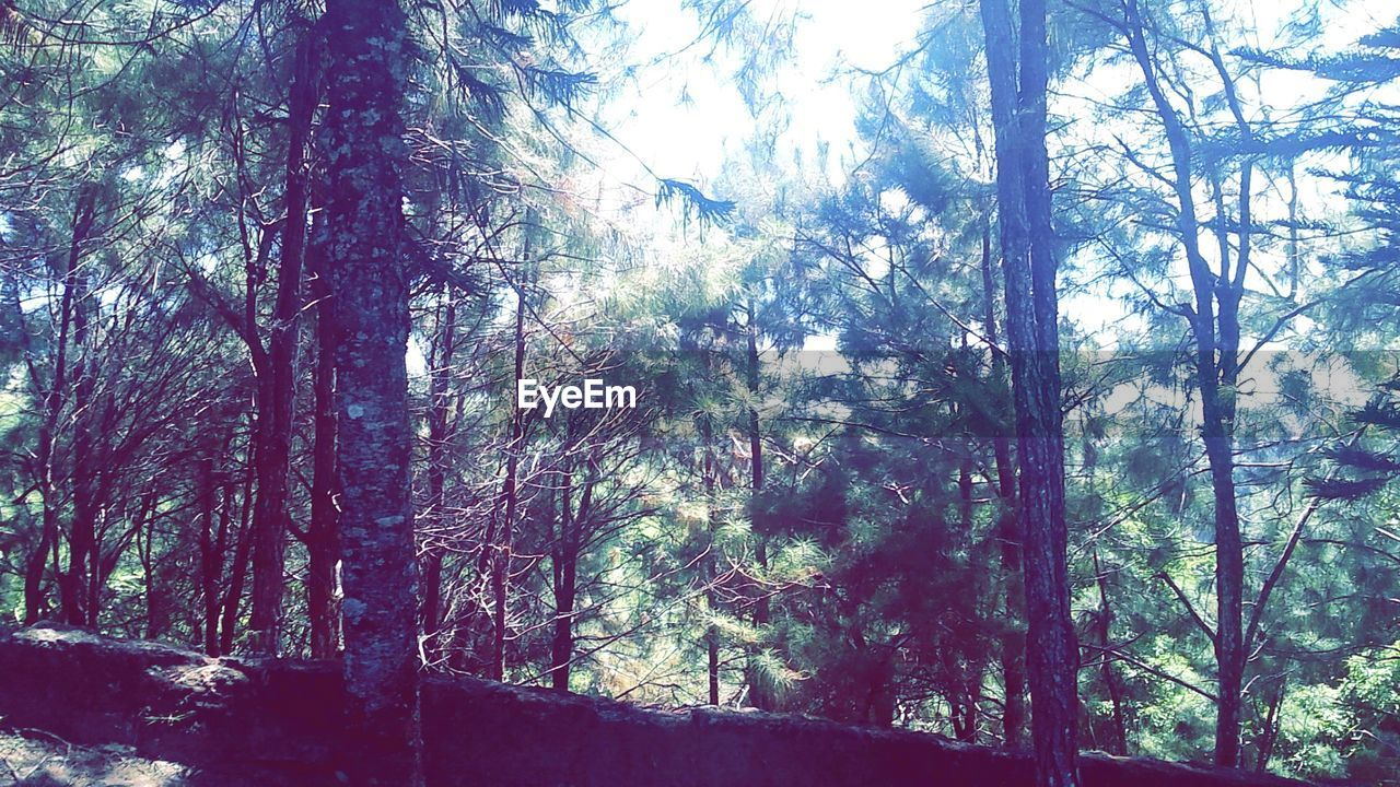 tree, forest, nature, day, tree trunk, no people, tranquility, branch, low angle view, tranquil scene, sunlight, woodland, outdoors, growth, beauty in nature, scenics, sky