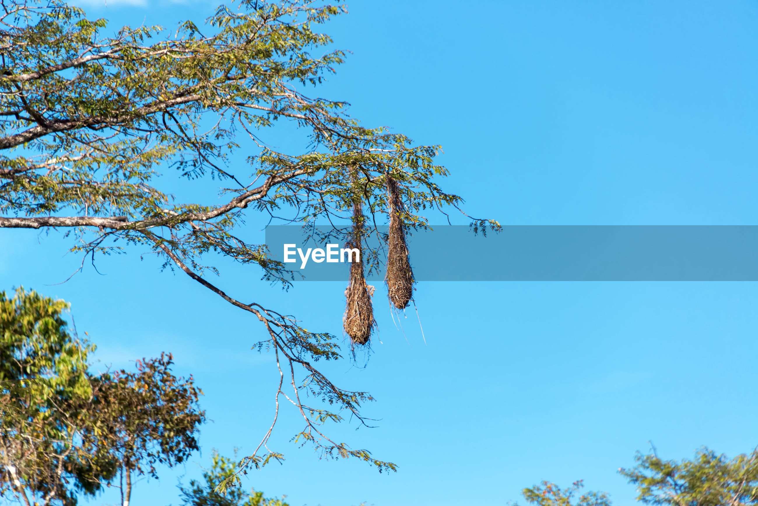 Low angle view of nests hanging on tree against clear blue sky