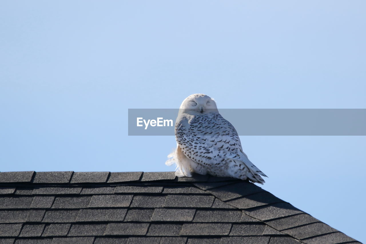 Low angle view of owl perching on roof against clear sky