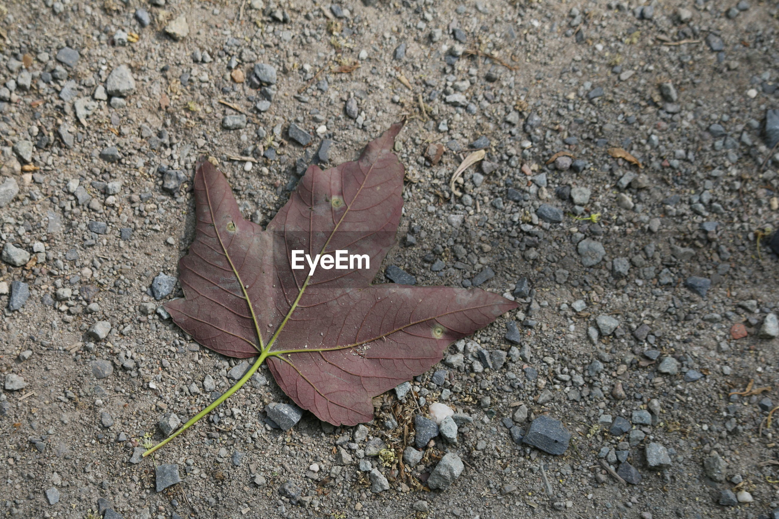CLOSE-UP OF MAPLE LEAVES ON GROUND