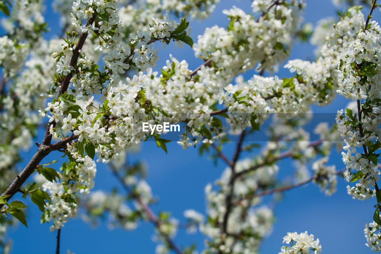 plant, flower, fragility, flowering plant, vulnerability, growth, beauty in nature, tree, freshness, branch, low angle view, day, nature, blossom, springtime, white color, no people, sky, blue, focus on foreground, outdoors, flower head, cherry blossom, spring, cherry tree