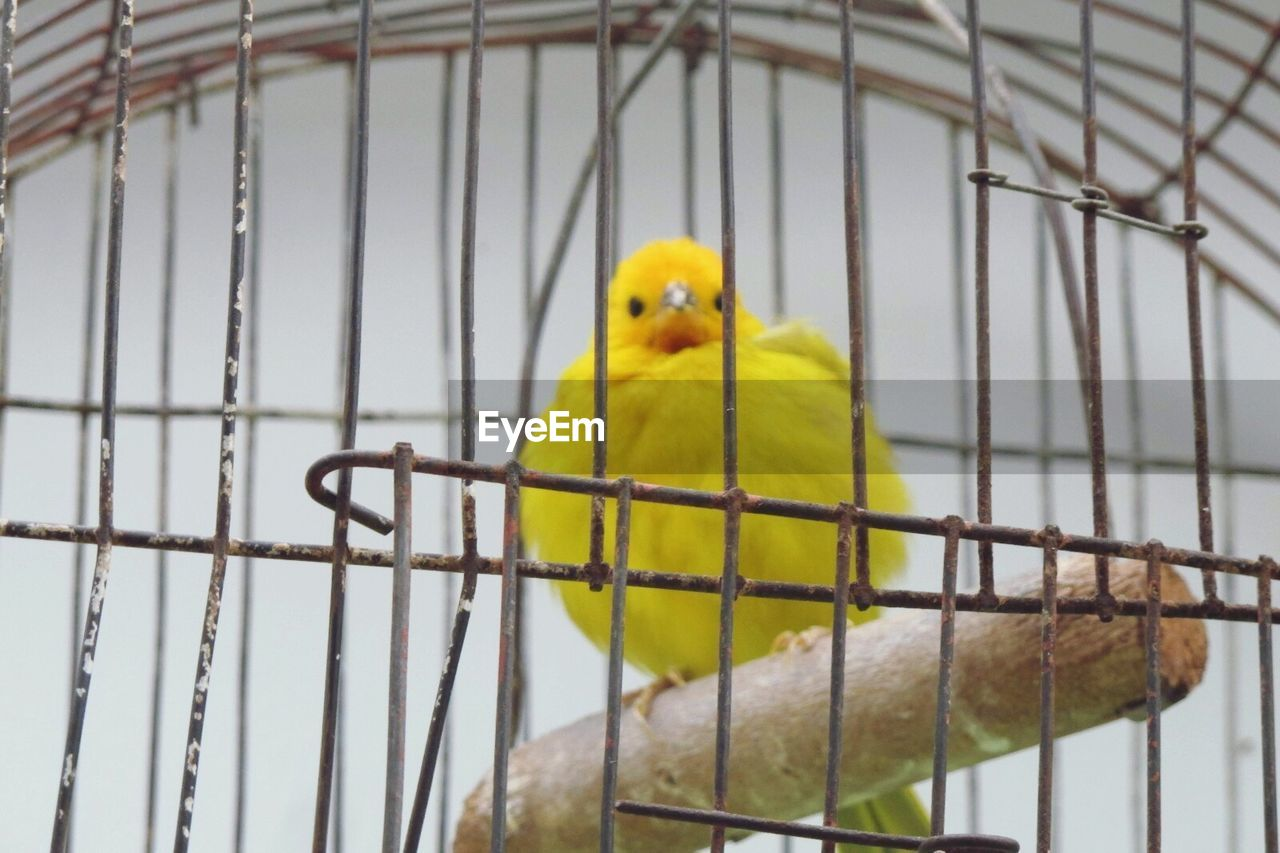 cage, birdcage, trapped, parrot, animals in captivity, parakeet, yellow, bird, budgerigar, metal, animal themes, one animal, perching, indoors, prisoner, no people, close-up, pets, prison, nature, day