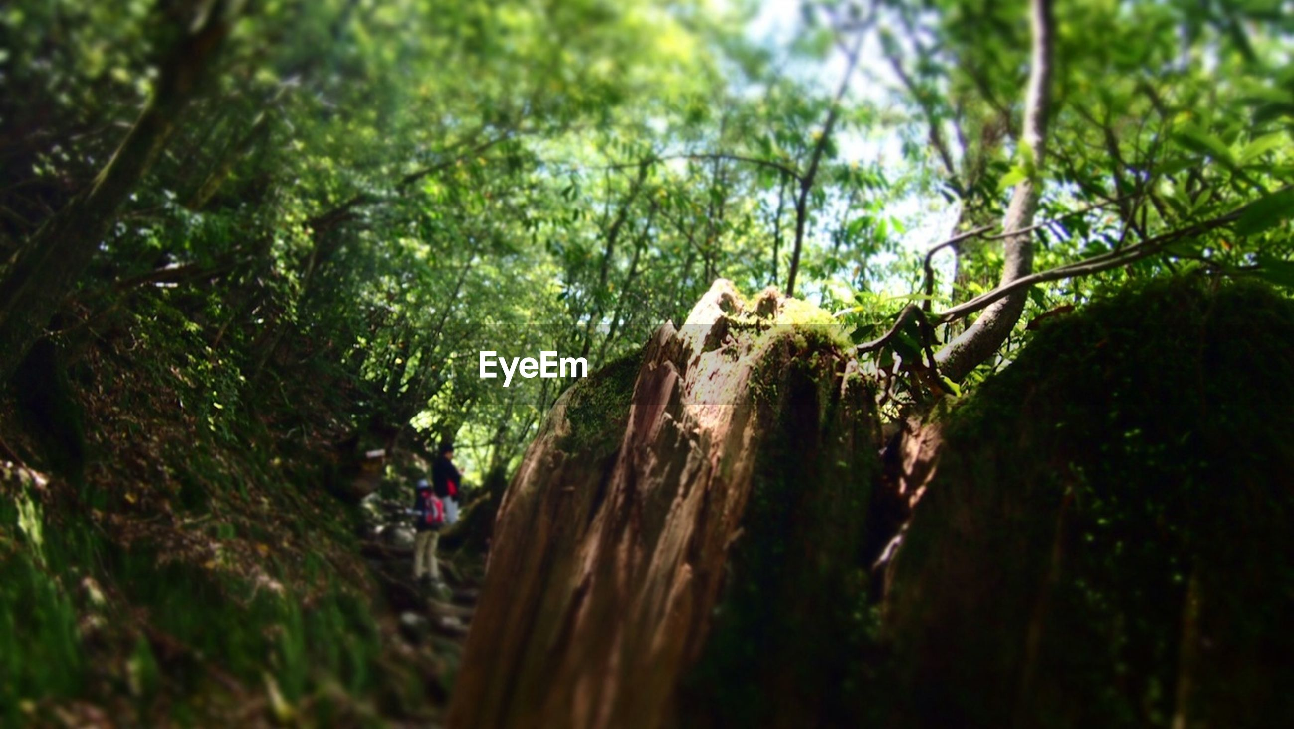 tree, growth, forest, leisure activity, tree trunk, nature, green color, lifestyles, men, walking, day, plant, outdoors, rear view, selective focus, sunlight, person, tranquility, low angle view