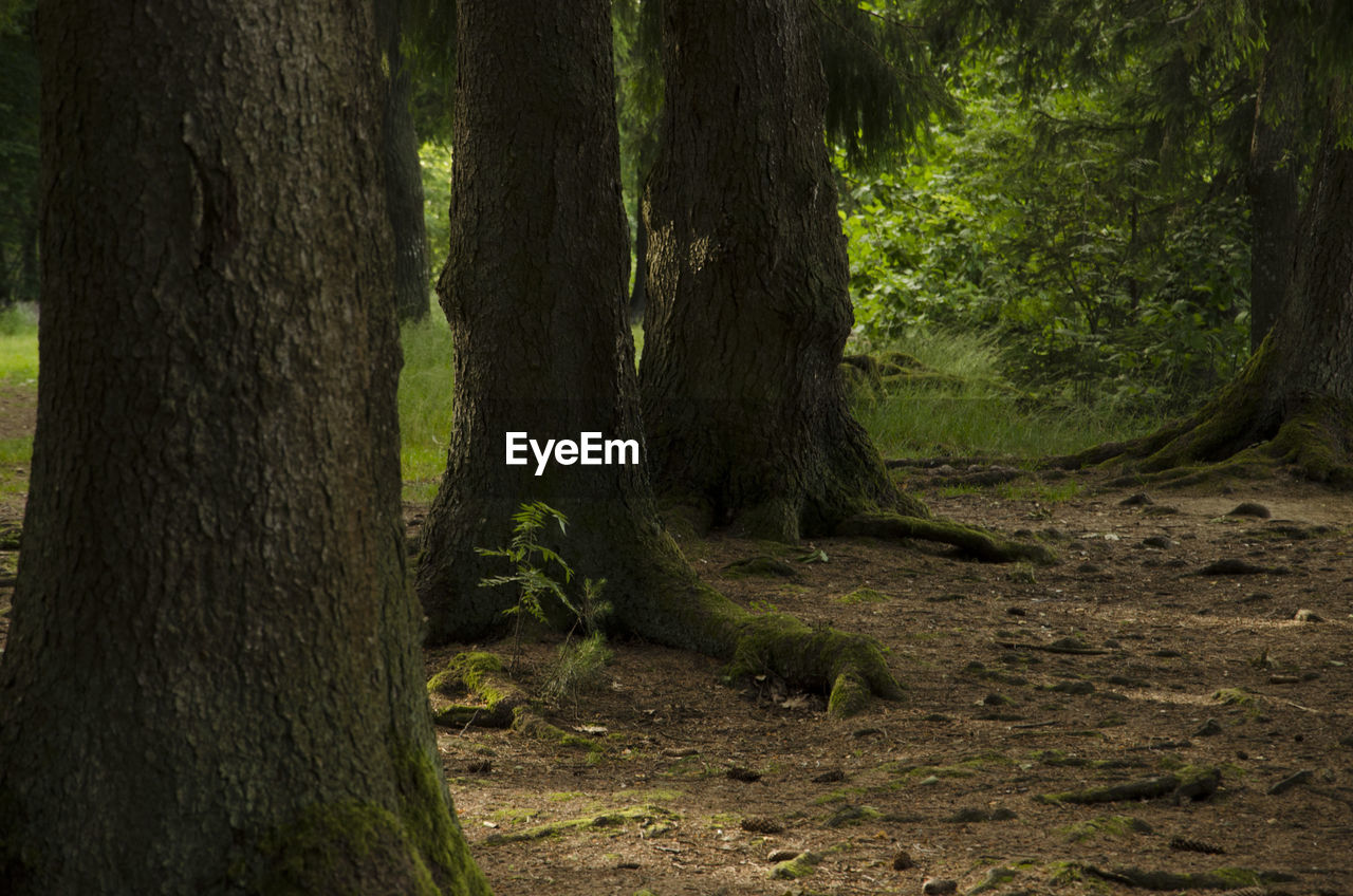 tree trunk, tree, forest, nature, outdoors, no people, day, tranquility, growth, landscape, scenics, grass, beauty in nature
