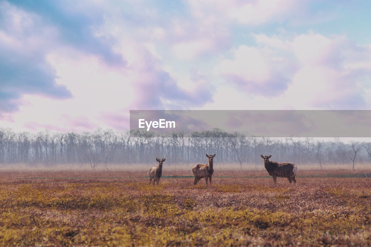 animal, animal themes, group of animals, mammal, field, animal wildlife, sky, animals in the wild, land, cloud - sky, vertebrate, nature, deer, environment, domestic animals, plant, landscape, grass, no people, herbivorous, outdoors