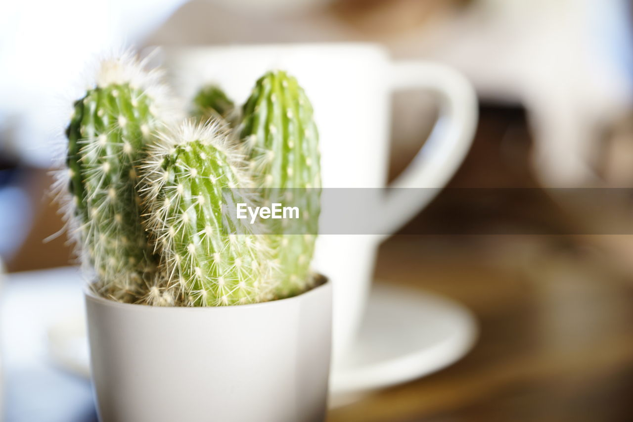 close-up, green color, still life, table, food and drink, succulent plant, no people, indoors, freshness, focus on foreground, potted plant, cactus, cup, food, selective focus, mug, growth, plant, drink, nature, latte, crockery
