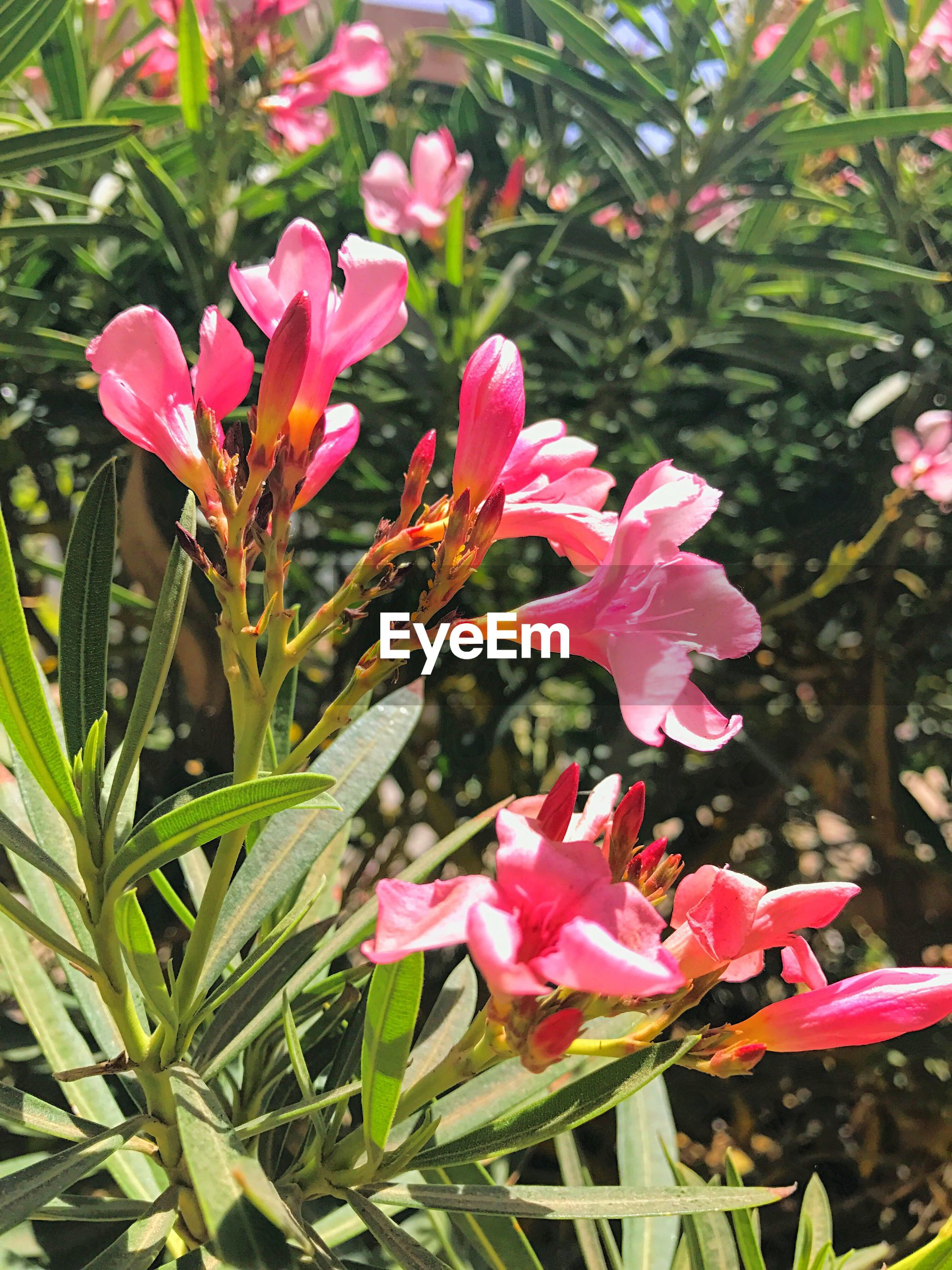flower, growth, nature, beauty in nature, petal, pink color, plant, fragility, close-up, freshness, blooming, day, rhododendron, no people, leaf, flower head, pollen, outdoors