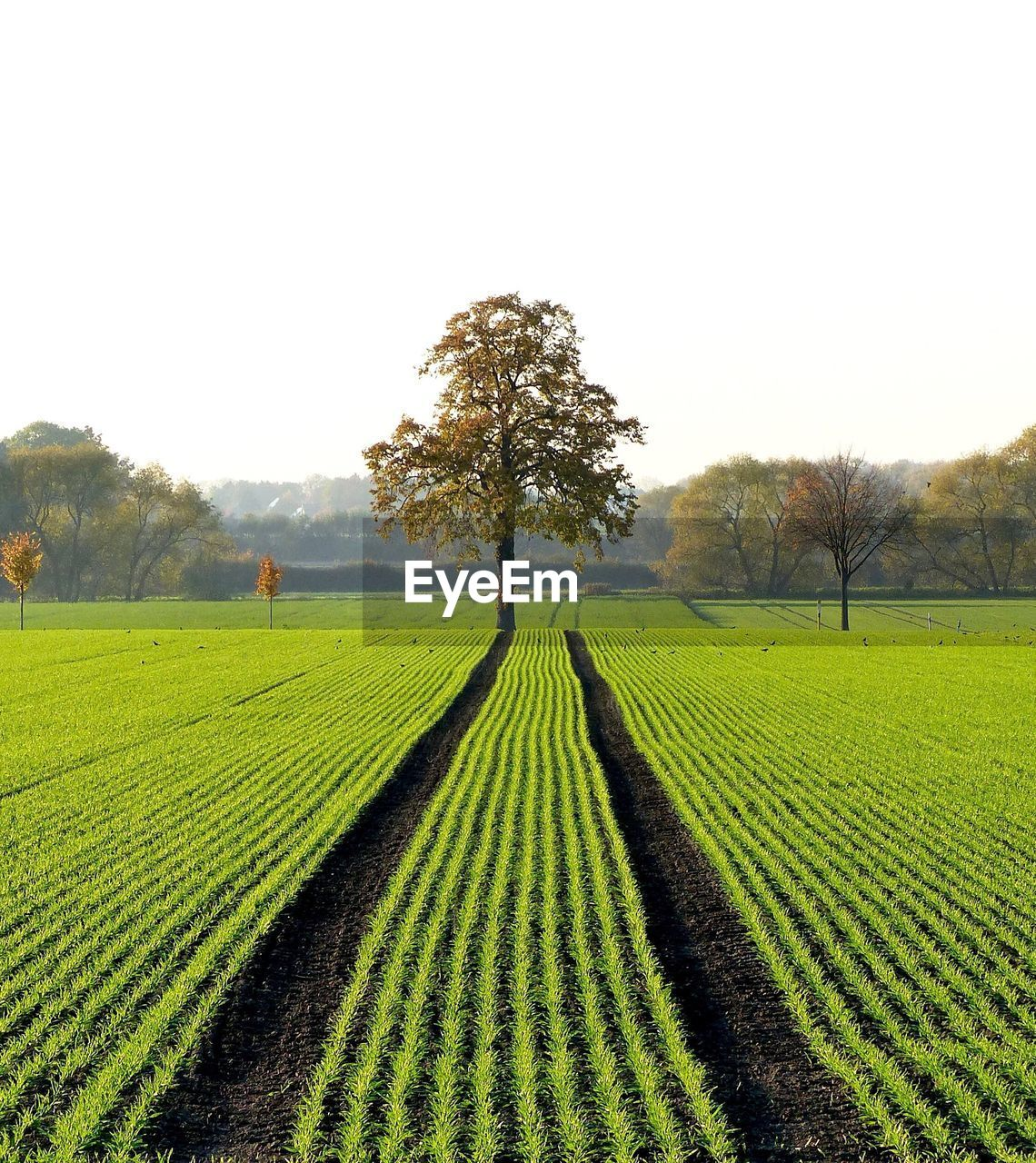 agriculture, field, growth, farm, nature, tree, beauty in nature, rural scene, landscape, tranquility, crop, tranquil scene, green color, day, outdoors, scenics, clear sky, no people, plowed field, sky, freshness