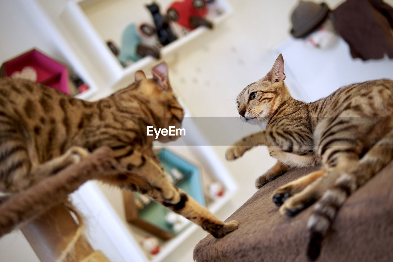 animal themes, animal, cat, feline, domestic cat, mammal, pets, domestic, domestic animals, vertebrate, no people, one animal, selective focus, indoors, focus on foreground, high angle view, home interior, whisker, tabby