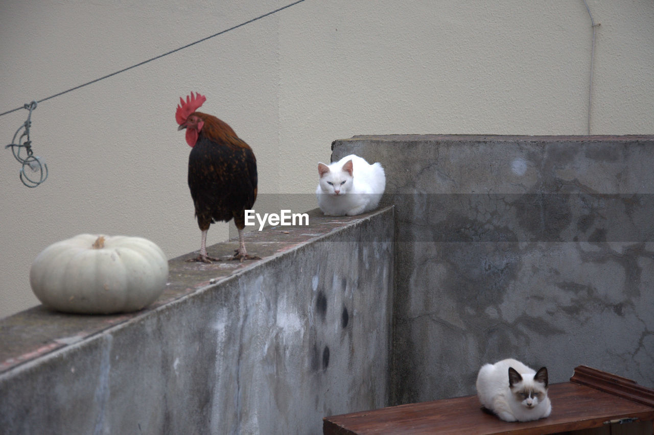 chicken - bird, livestock, domestic animals, rooster, bird, animal themes, no people, indoors, built structure, cockerel, architecture, mammal, day, close-up