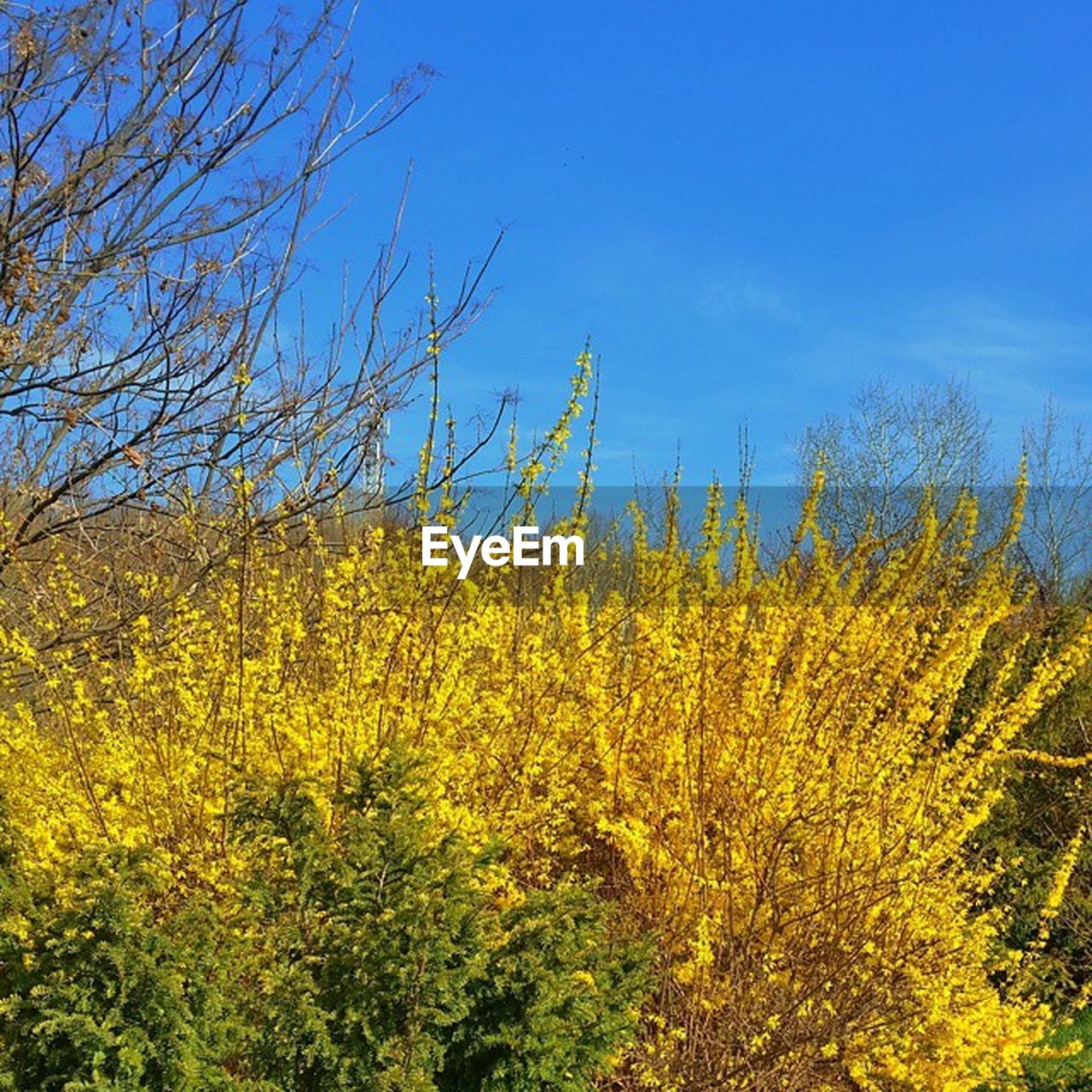 yellow, nature, plant, growth, sky, tranquility, tranquil scene, beauty in nature, no people, outdoors, day, flower, blue, landscape, tree