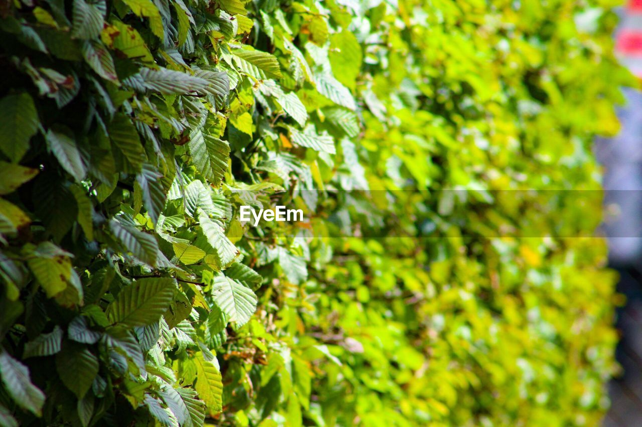 growth, green color, plant, plant part, leaf, beauty in nature, no people, nature, selective focus, day, close-up, freshness, tree, food and drink, focus on foreground, food, outdoors, sunlight, full frame, tranquility, leaves