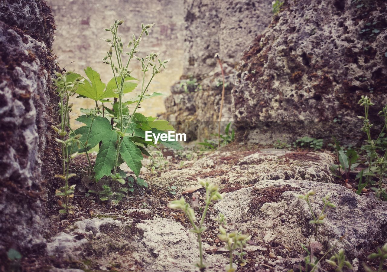 plant, growth, nature, leaf, no people, rock - object, outdoors, day, close-up, beauty in nature, fragility, freshness