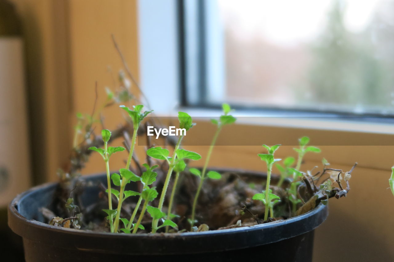 growth, potted plant, green color, close-up, seedling, plant, no people, plant part, window, nature, indoors, leaf, day, beginnings, focus on foreground, new life, selective focus, beauty in nature, botany, small, flower pot, houseplant