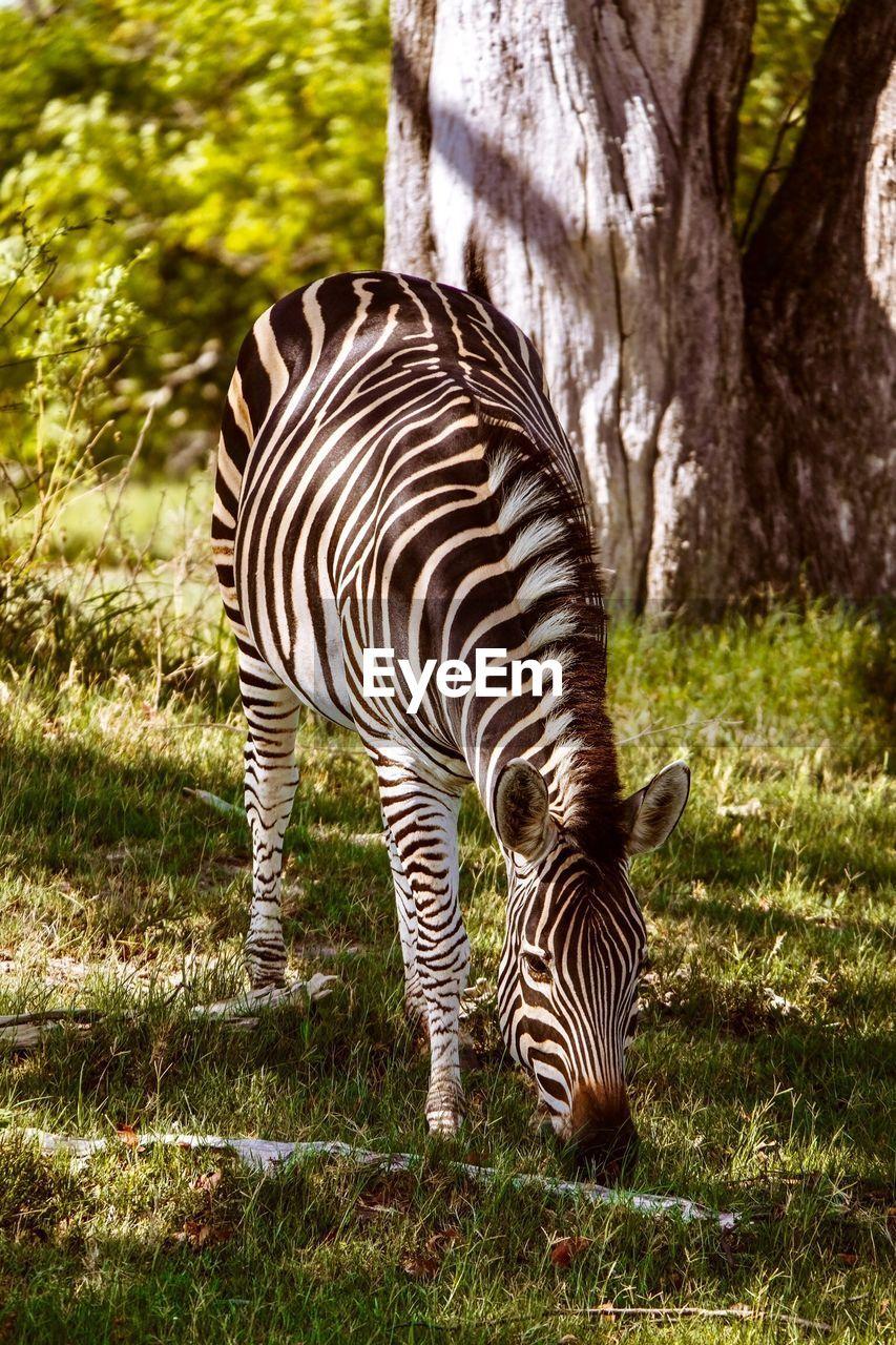VIEW OF A ZEBRA