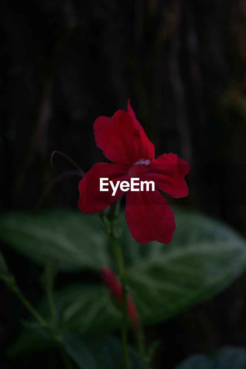 flower, growth, red, petal, nature, beauty in nature, fragility, plant, focus on foreground, no people, flower head, outdoors, blooming, day, freshness, close-up