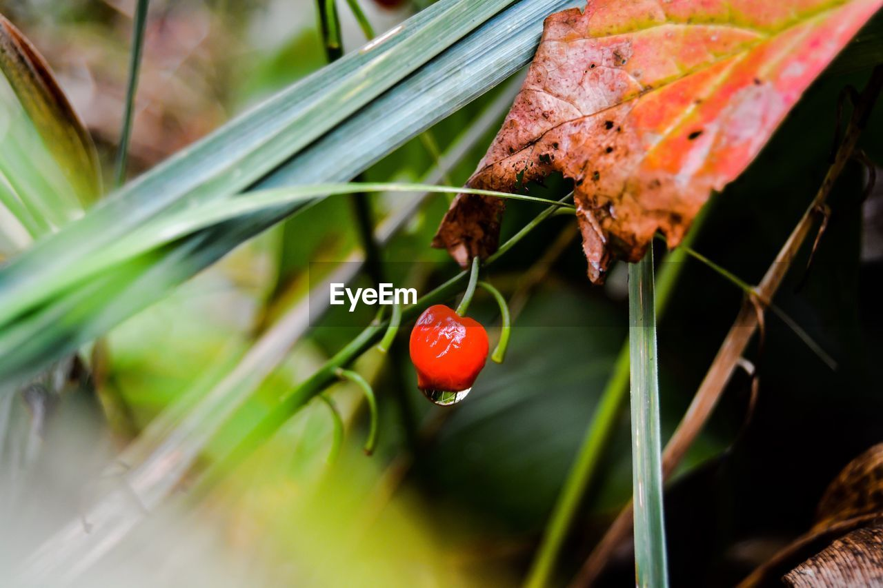 red, growth, green color, nature, day, beauty in nature, close-up, outdoors, leaf, no people, plant, freshness
