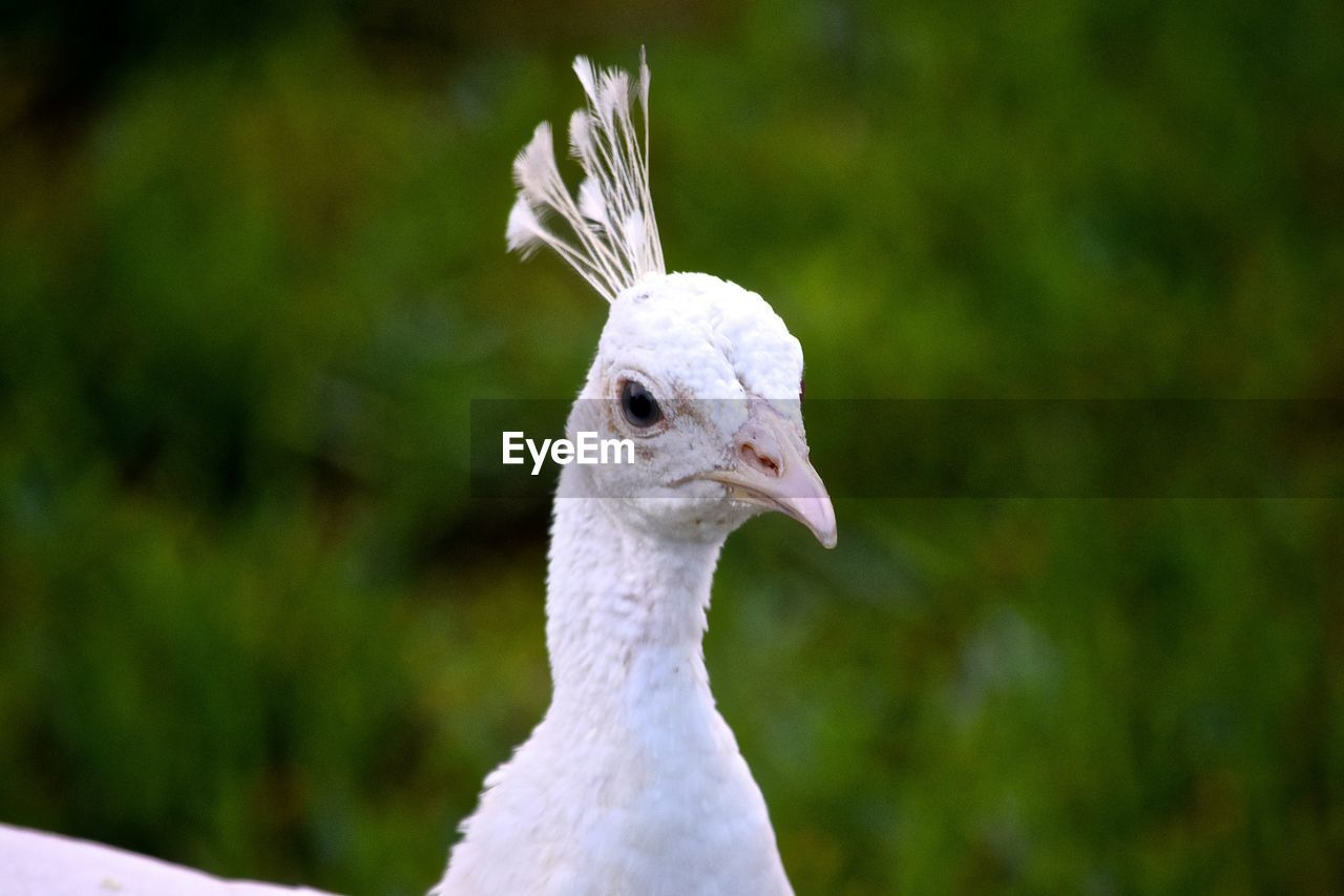 Close-Up Of White Peacock