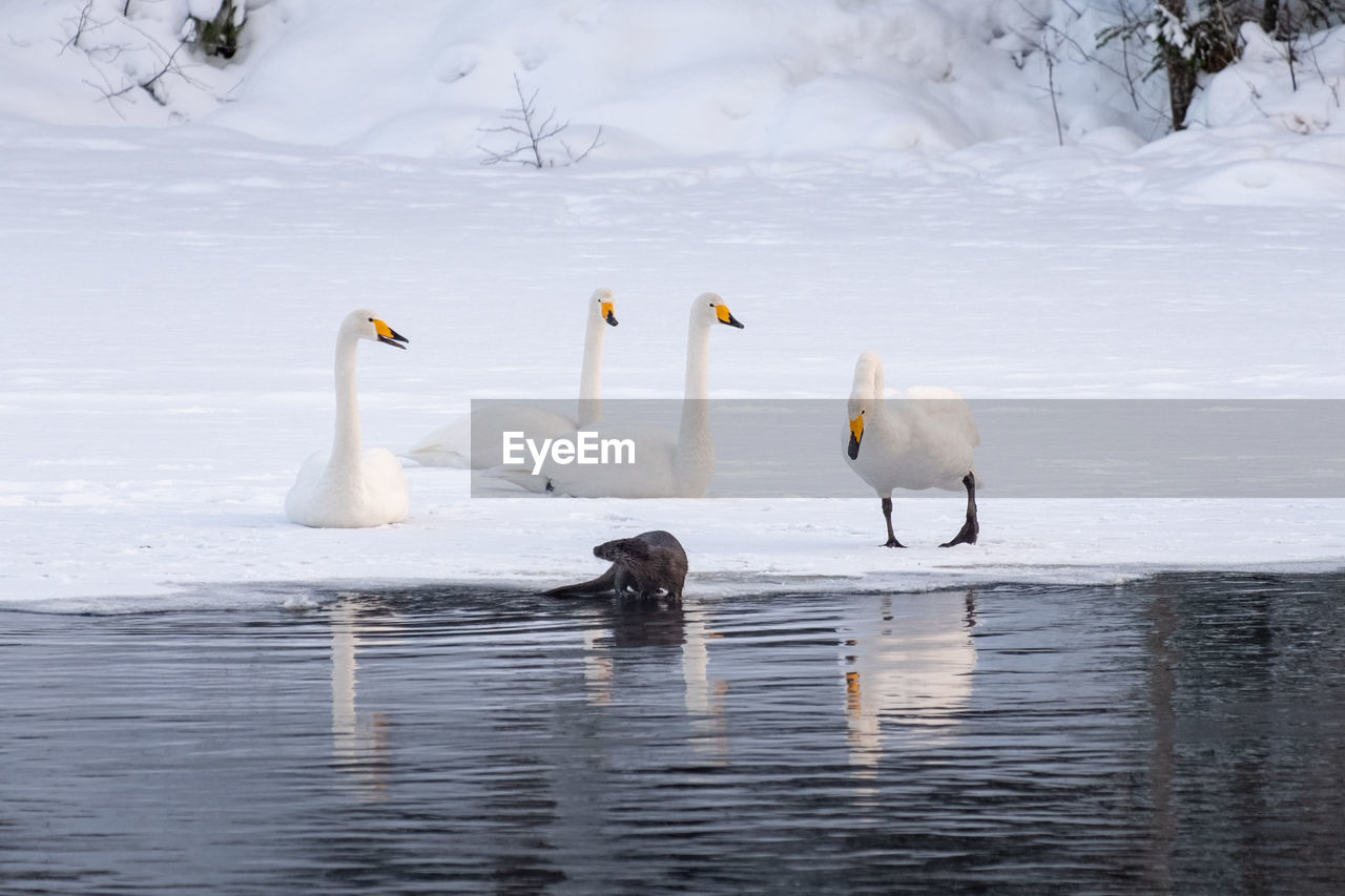 animals in the wild, animal themes, animal, animal wildlife, water, group of animals, bird, vertebrate, cold temperature, lake, winter, nature, no people, snow, day, waterfront, beauty in nature, white color, outdoors