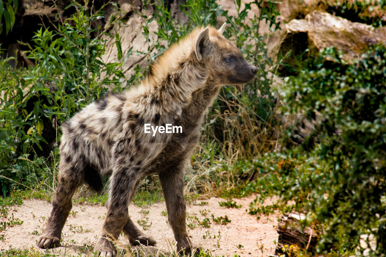 one animal, mammal, animals in the wild, animal wildlife, no people, standing, nature, plant, full length, day, safari, vertebrate, looking, outdoors, side view, focus on foreground, profile view