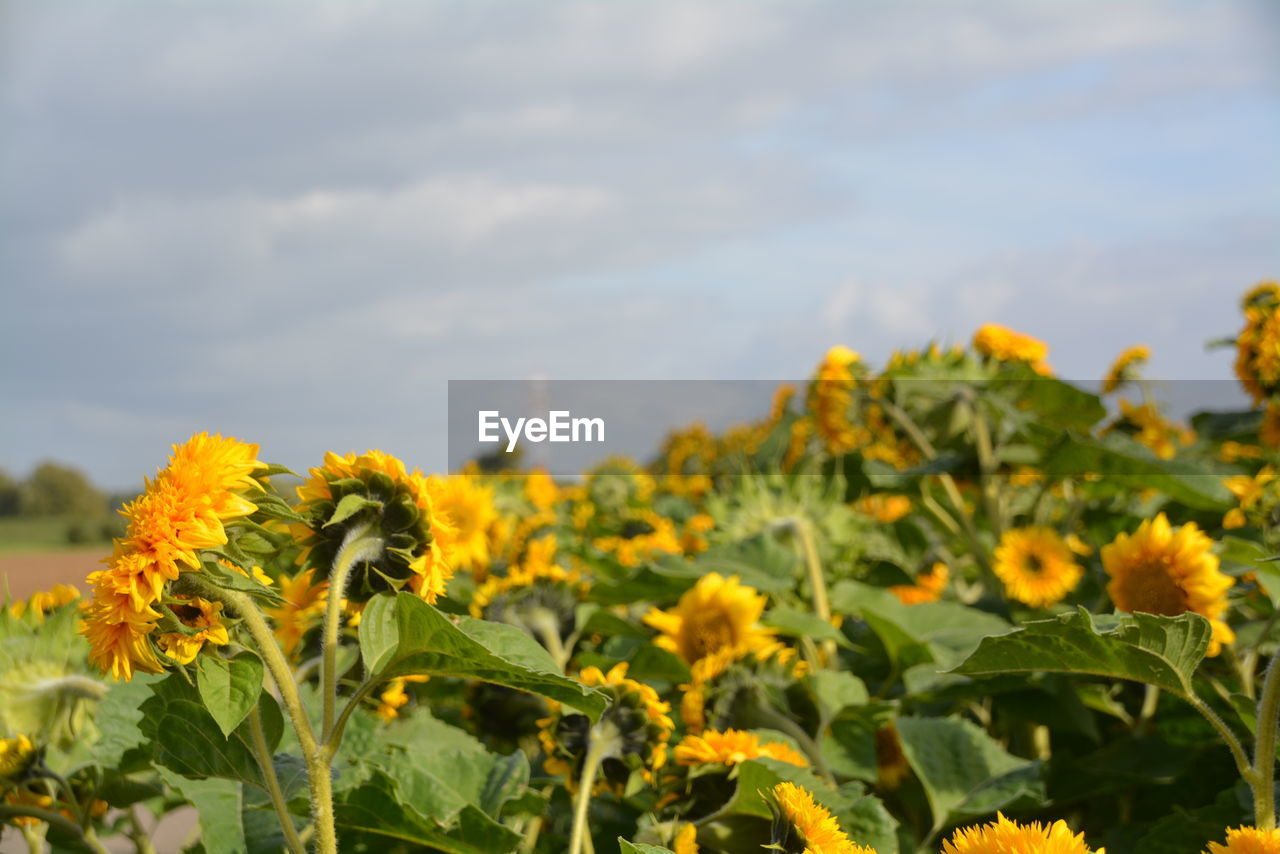 growth, flowering plant, plant, flower, yellow, beauty in nature, freshness, nature, vulnerability, fragility, leaf, close-up, sky, plant part, flower head, field, land, petal, day, cloud - sky, no people, sunflower, outdoors