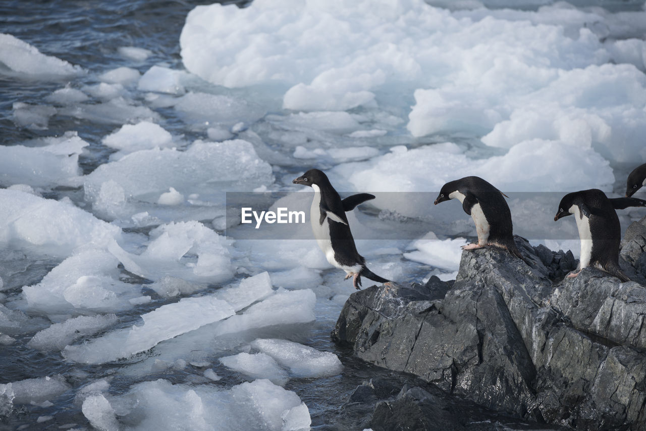 High Angle View Of Penguins On Rocky Shore During Winter