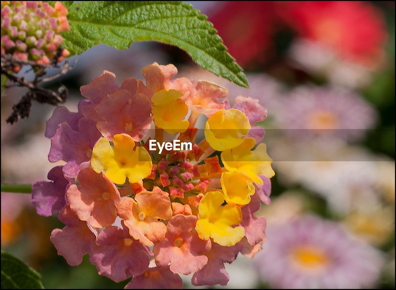 flower, beauty in nature, growth, freshness, nature, fragility, plant, close-up, focus on foreground, outdoors, no people, petal, flower head, day, leaf, lantana camara, blooming