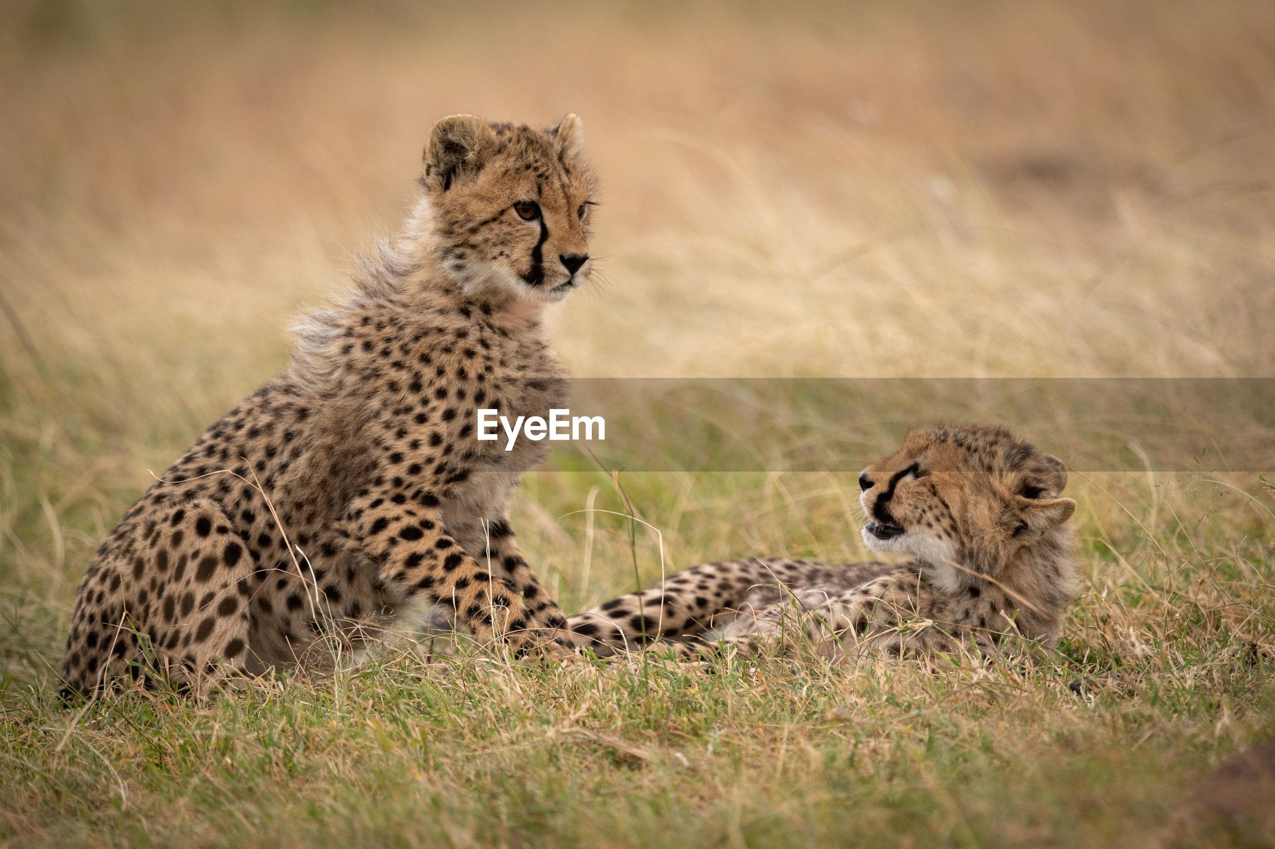 View of cheetah cubs at field