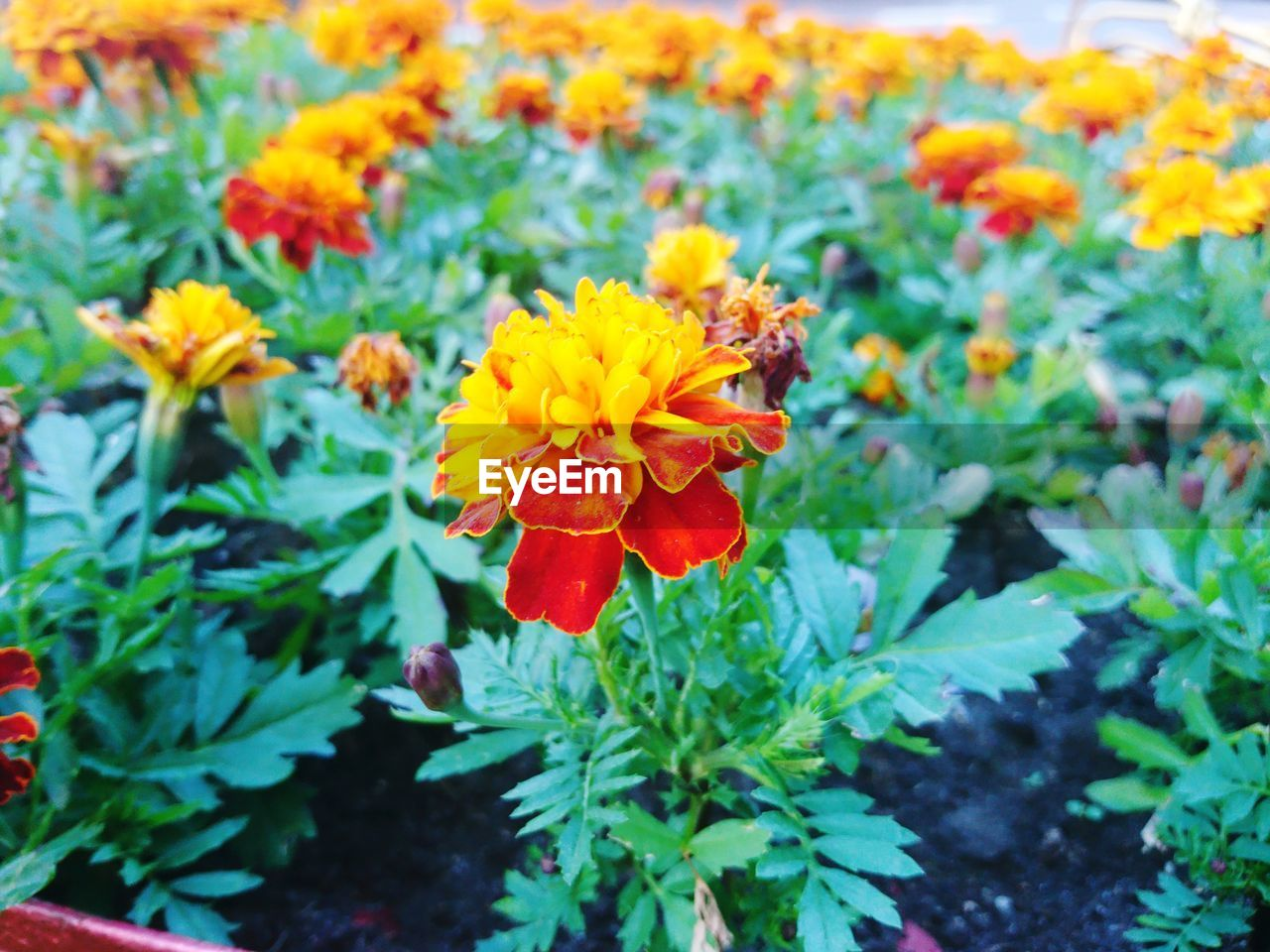 flowering plant, flower, fragility, vulnerability, plant, beauty in nature, freshness, growth, petal, flower head, inflorescence, close-up, nature, marigold, day, no people, plant part, leaf, orange color, green color, outdoors