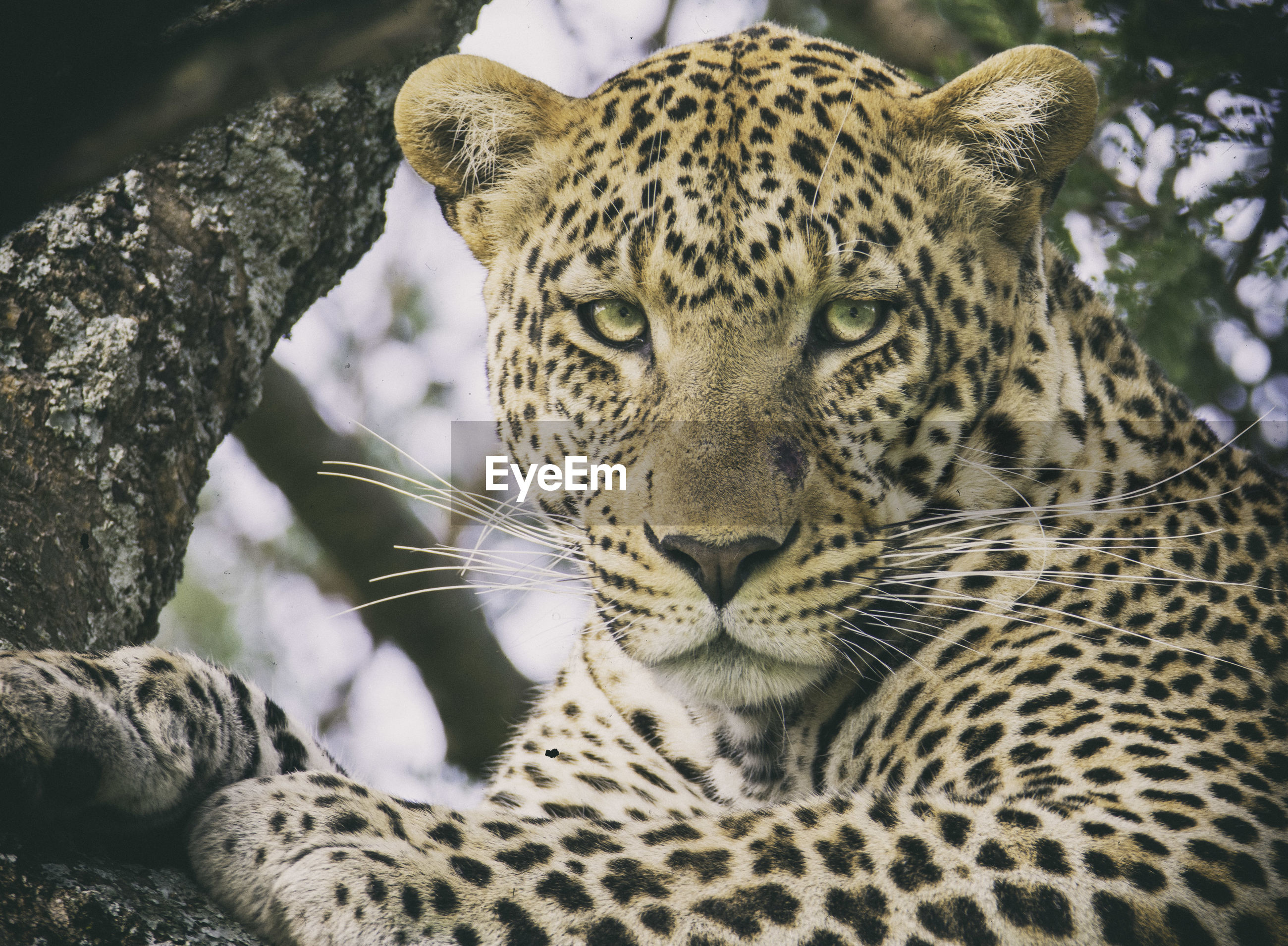 Close-up of leopard on branch