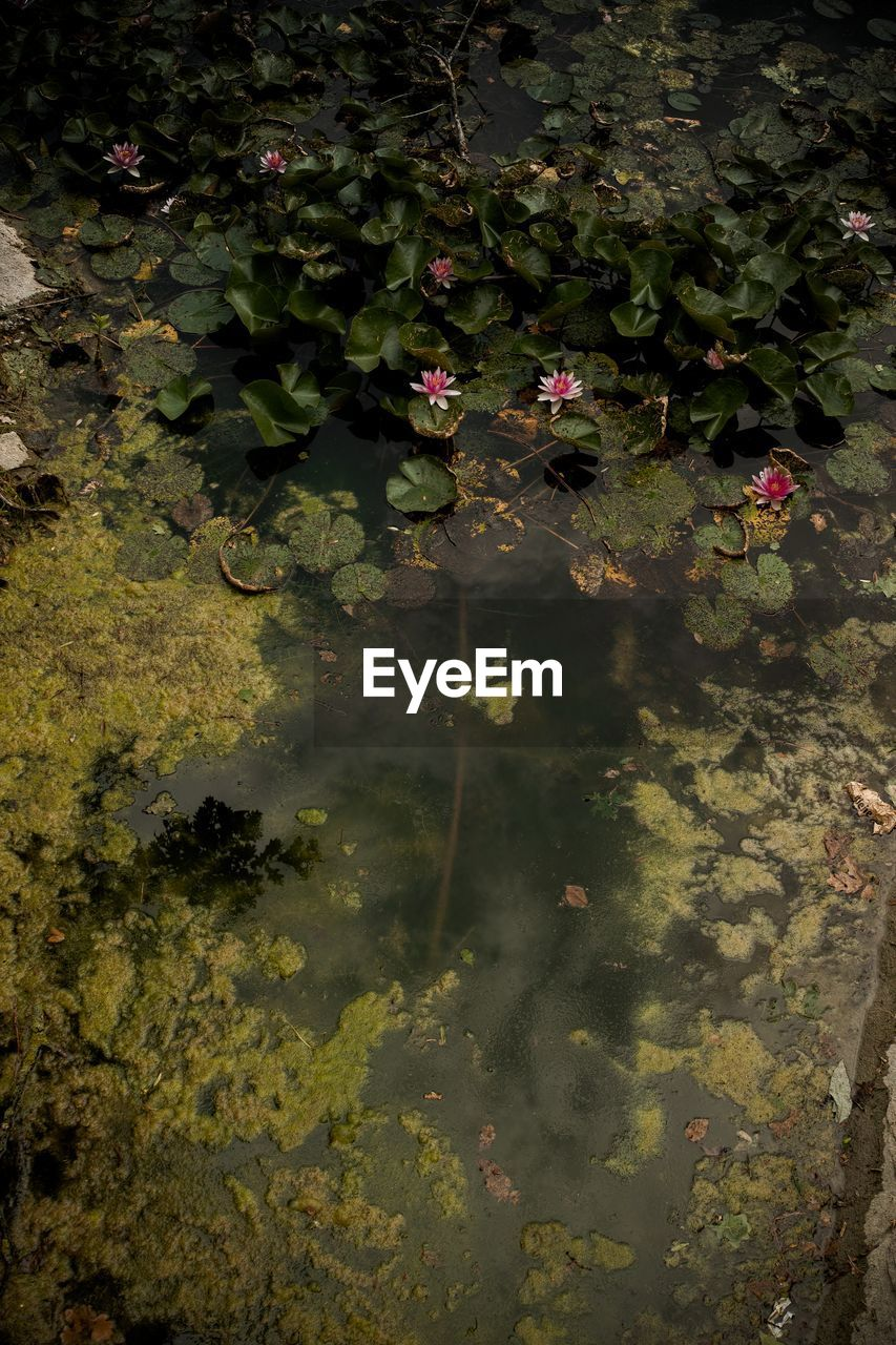 flower, plant, flowering plant, beauty in nature, leaf, water, lake, growth, plant part, nature, floating, floating on water, freshness, day, green color, no people, high angle view, fragility, outdoors, flower head, lotus water lily