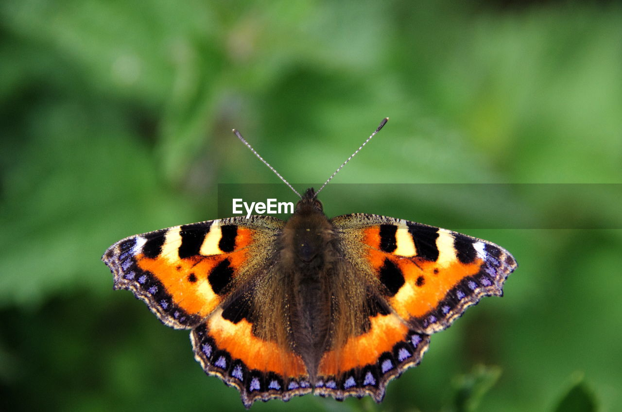 invertebrate, animal wildlife, insect, one animal, animals in the wild, animal themes, animal, butterfly - insect, close-up, animal wing, beauty in nature, focus on foreground, animal markings, no people, animal body part, nature, day, butterfly, natural pattern, animal antenna, outdoors