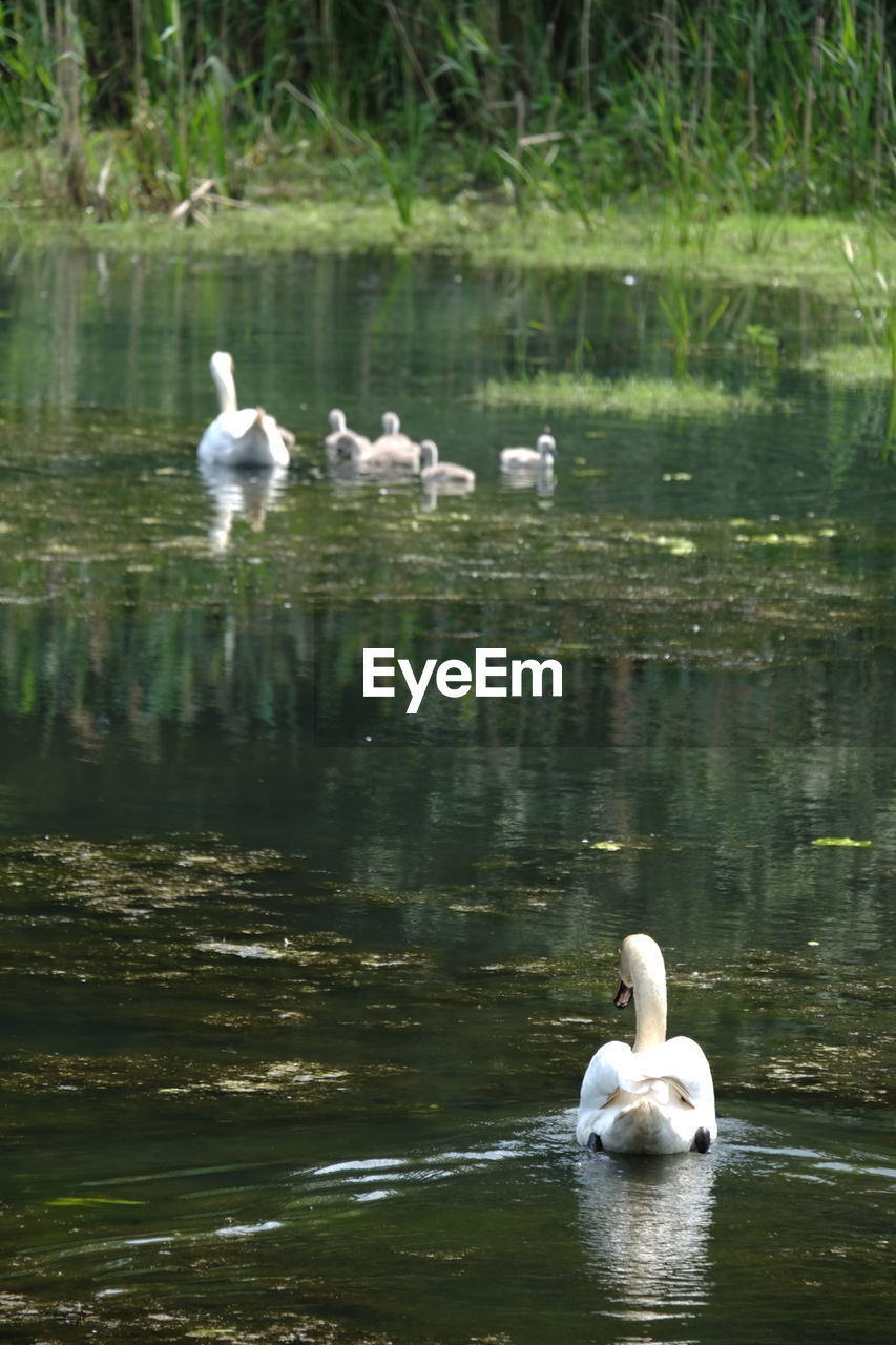 water, bird, animals in the wild, lake, animal wildlife, animal themes, vertebrate, animal, group of animals, swimming, swan, reflection, waterfront, day, nature, white color, water bird, no people, zoology, outdoors, cygnet, floating on water, animal family