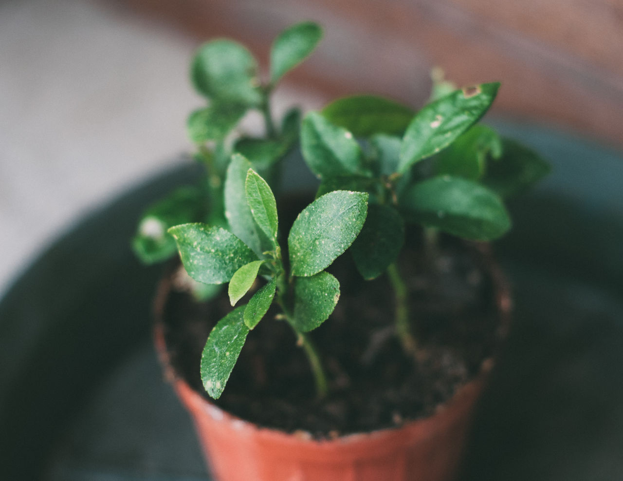 green color, leaf, plant part, potted plant, plant, growth, close-up, nature, selective focus, beauty in nature, no people, outdoors, freshness, seedling, botany, day, beginnings, focus on foreground, high angle view, herb, houseplant, flower pot, small