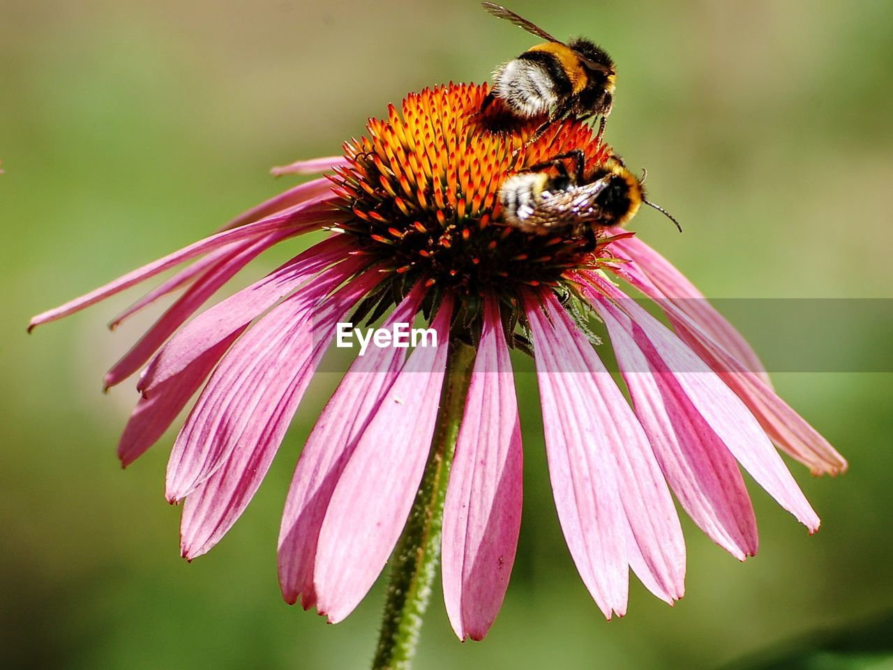 Close-up of bumblebees on eastern purple coneflower during sunny day