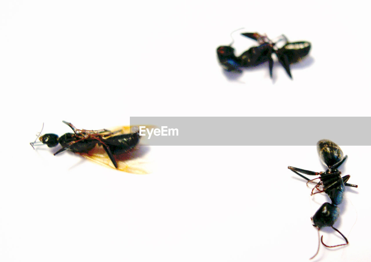 insect, animal themes, animals in the wild, two animals, close-up, studio shot, white background, no people, bee, togetherness, day, outdoors