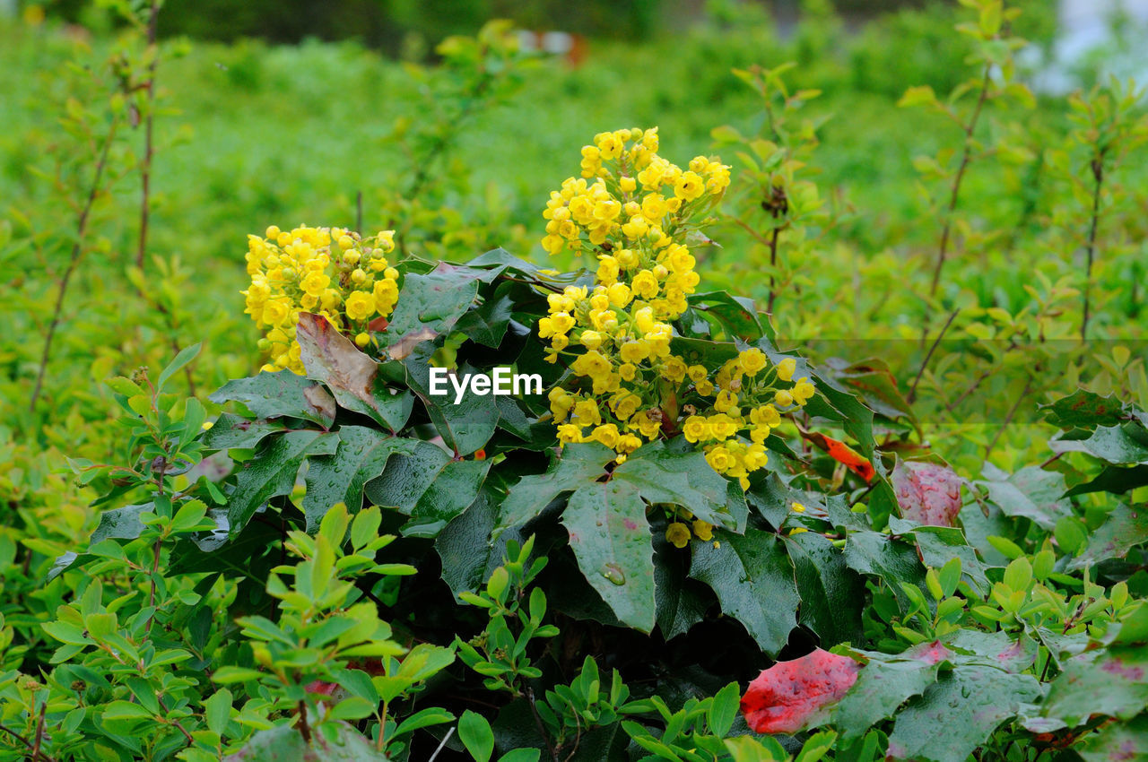 plant, flowering plant, growth, flower, beauty in nature, yellow, green color, plant part, freshness, leaf, nature, day, vulnerability, fragility, no people, close-up, outdoors, field, focus on foreground, flower head, lantana, lichen