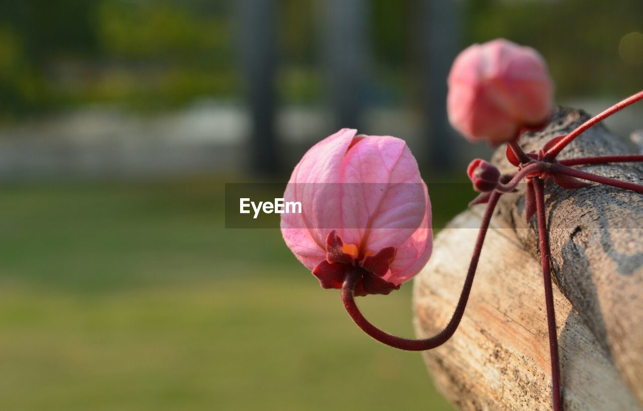 flower, petal, fragility, nature, beauty in nature, flower head, focus on foreground, pink color, freshness, close-up, outdoors, no people, plant, day, growth, blooming