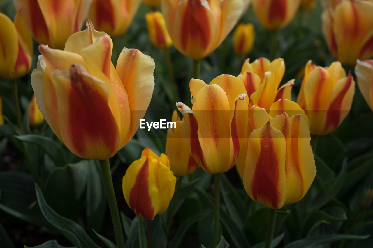 flower, flowering plant, fragility, vulnerability, beauty in nature, plant, petal, freshness, growth, flower head, close-up, inflorescence, yellow, nature, botany, tulip, no people, day, focus on foreground, park, springtime, outdoors, pollen