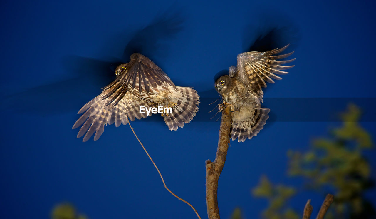 Low Angle View Of Owls Flying Against Blue Sky