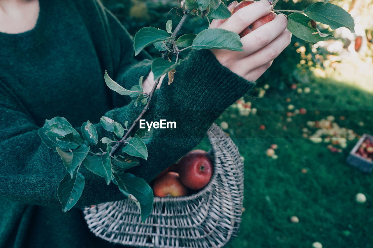 Midsection Of Woman Picking Apples Growing On Tree
