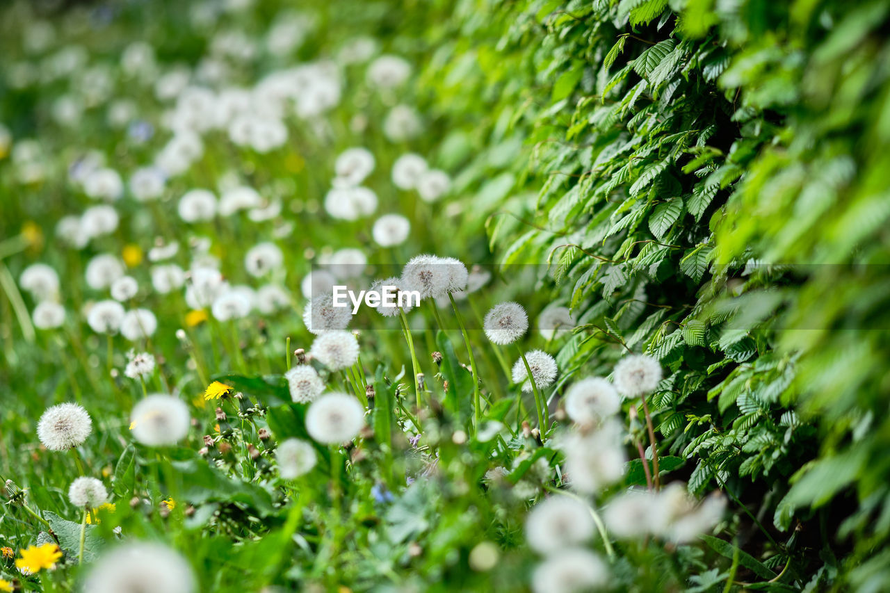 plant, flower, beauty in nature, selective focus, growth, freshness, green color, flowering plant, white color, fragility, day, vulnerability, nature, close-up, no people, land, field, flower head, outdoors, tranquility