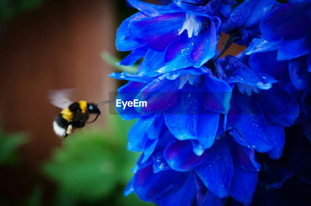 Close-Up Of Bumblebee Buzzing Around Blue Flowers