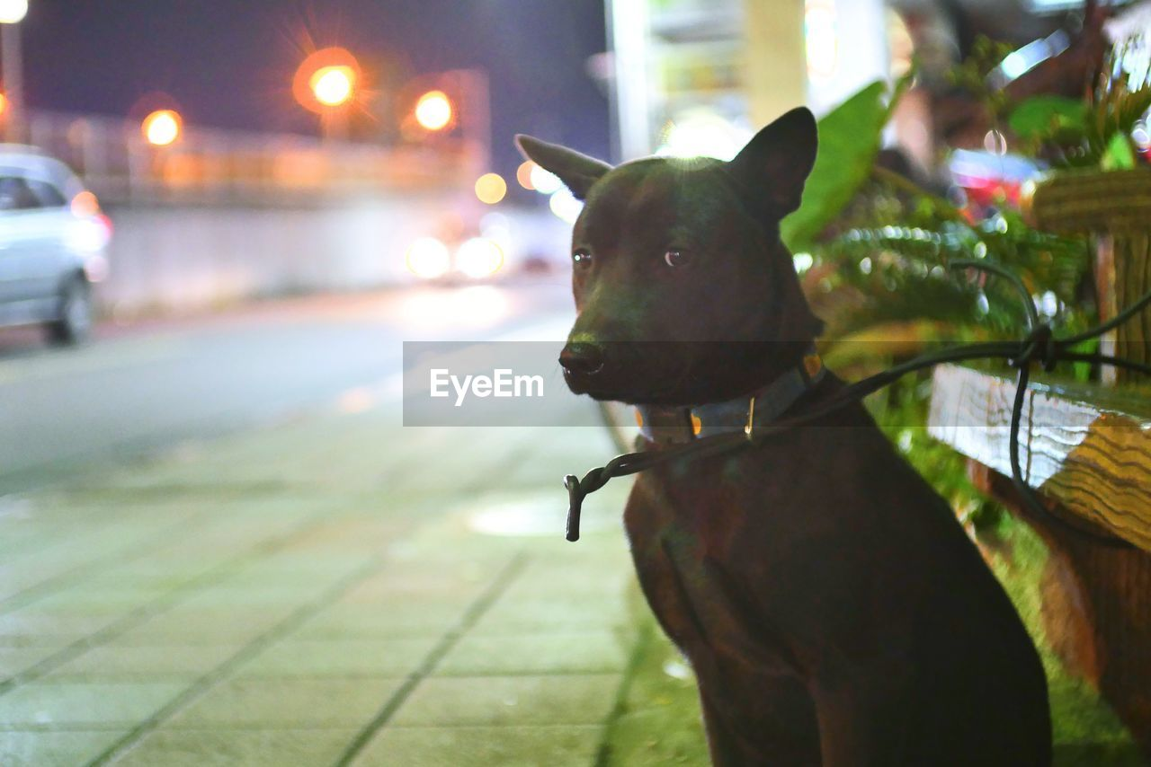 domestic, domestic animals, pets, mammal, one animal, animal, animal themes, canine, dog, vertebrate, focus on foreground, no people, street, looking, city, looking away, close-up, night, outdoors, collar