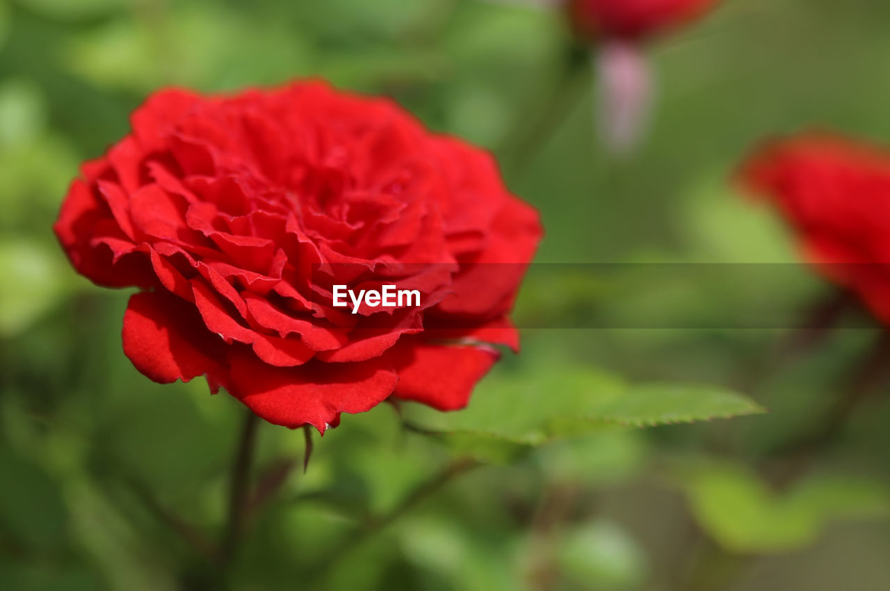 flowering plant, beauty in nature, flower, vulnerability, fragility, plant, petal, freshness, inflorescence, close-up, red, flower head, growth, nature, rose, focus on foreground, day, no people, selective focus, rose - flower, outdoors