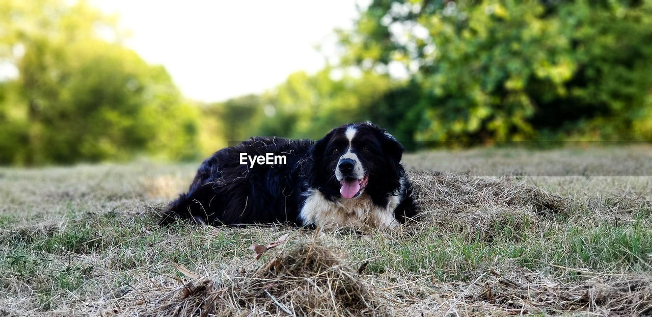 domestic, pets, animal, domestic animals, animal themes, mammal, canine, one animal, dog, vertebrate, plant, field, black color, nature, land, grass, day, focus on foreground, no people, relaxation, outdoors, animal head