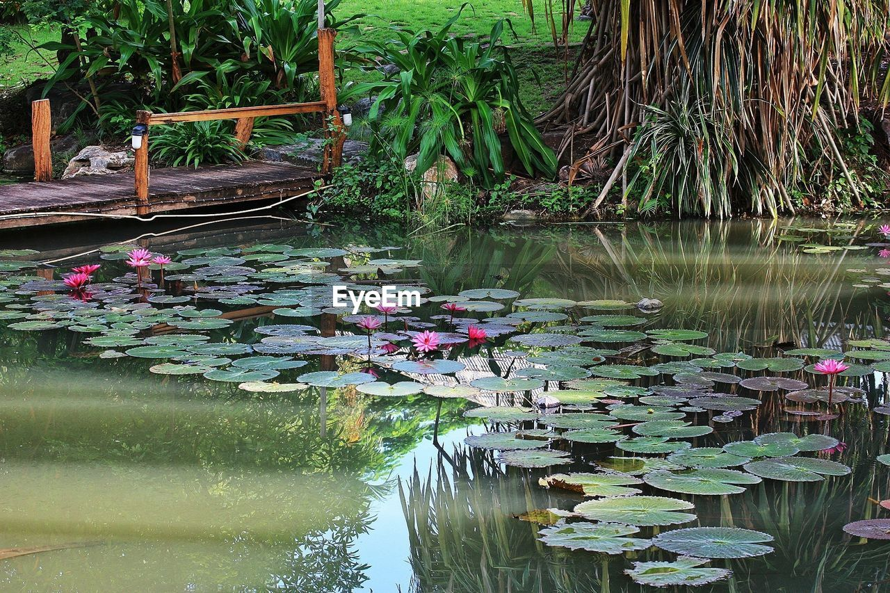 Water lilies in pond at park