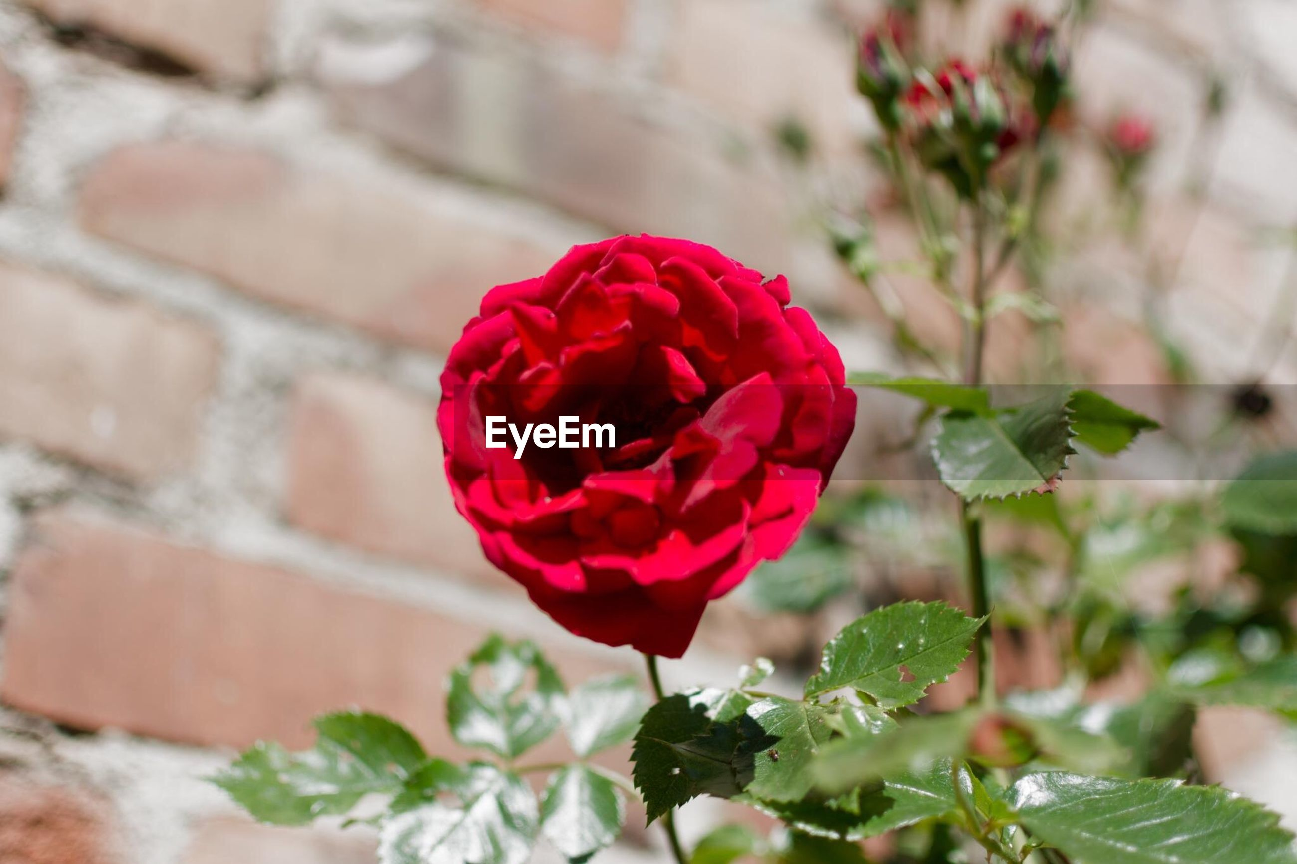flower, freshness, petal, rose - flower, fragility, growth, flower head, close-up, plant, red, focus on foreground, leaf, beauty in nature, nature, blooming, pink color, rose, bud, single flower, day