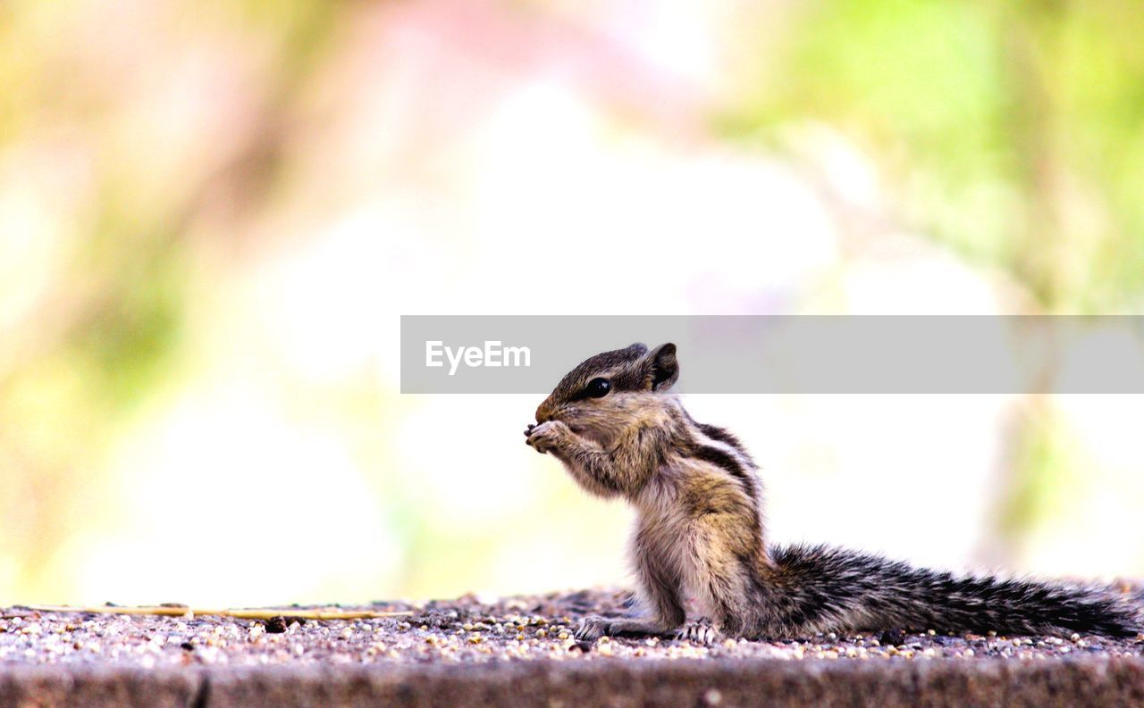 animal, animal themes, animal wildlife, one animal, animals in the wild, rodent, vertebrate, mammal, focus on foreground, squirrel, close-up, chipmunk, no people, day, nature, outdoors, side view, selective focus, wall, looking away